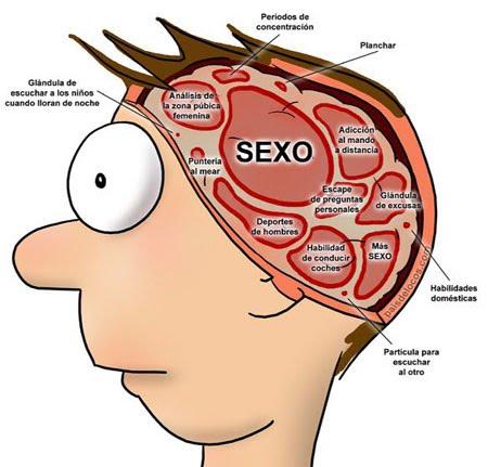El hipotaloma y la glándula pituitaria pueden activar la erección del pene.